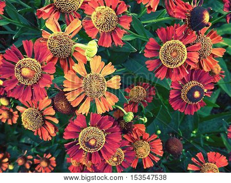 the many blooming helenium flowers close up
