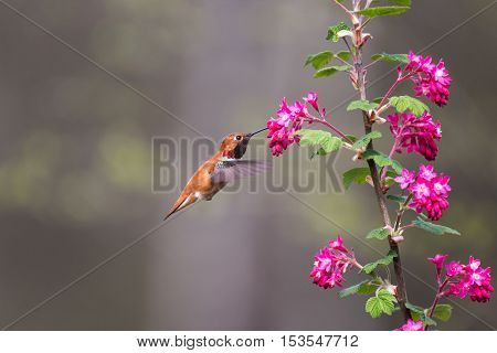 a Rufous Hummingbird and Red flowering Currant