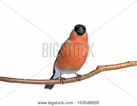 bird beautiful plump red bullfinch on a branch isolated on white