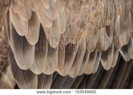 Cinereous vulture (Aegypius monachus), also known as the black vulture or monk vulture. Plumage texture.