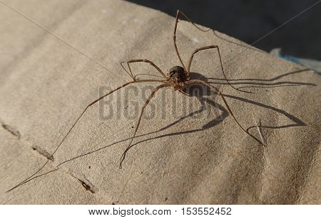 Long legs arthropod on a cardboard waiting