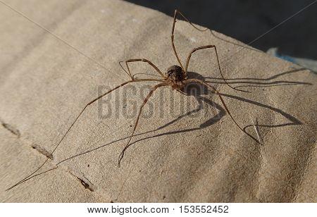 Long legs arthropod on a cardboard waiting