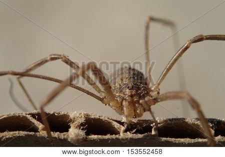 Close frame of an arachnid with long legs