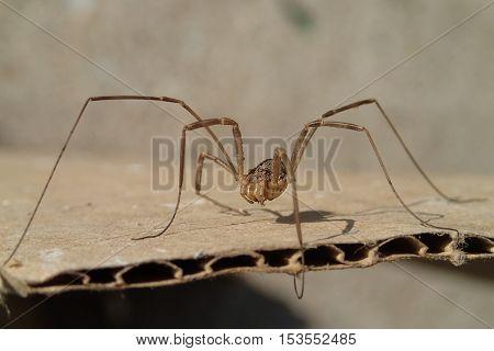 Arachnid with long legs on a cardboard