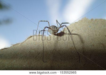 Harvest men arachnid alone on a cardboard
