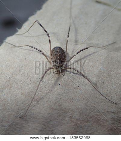 Daddy long legs arachnid on a cardboard