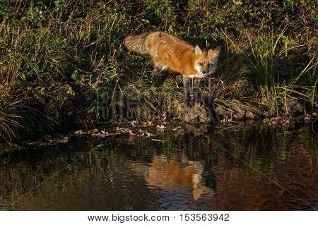 Red Fox (Vulpes vulpes) Looks Out Reflected - captive animal