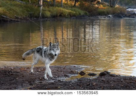 Grey Wolf (Canis lupus) Walks Forward - captive animal
