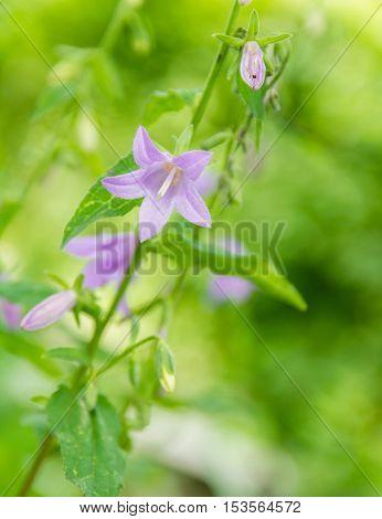 Bellflower. Blue purple bellflower with creamy bokeh background. Bright sunny day. Bell flower
