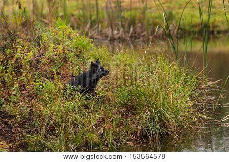 Silver Fox (Vulpes vulpes) Sits - captive animal