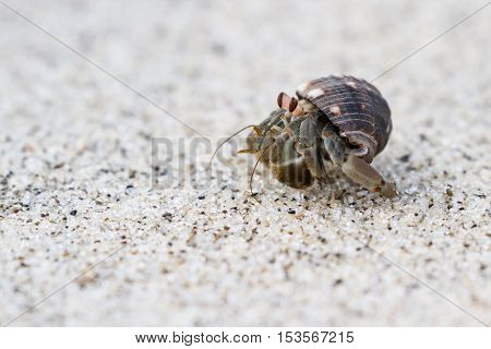 small hermit crab on a white sand beach in Panama