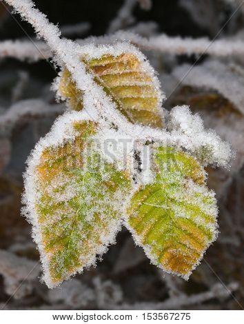 White frost on hornbeam leaves on late autumn