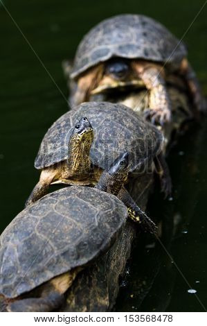 Turtles On A Log