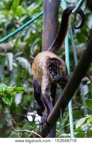 Black Handed Spider Monkey - Ateles Geoffroyi