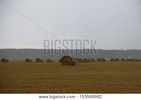 Round straw bales on a field a rainy autumn day in Sweden. With ample space for text.