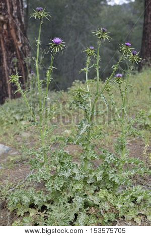 Milk Thistle - Silybum marianum Whole plant in Cyprus Forest