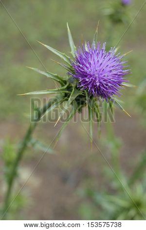 Milk Thistle - Silybum marianum Single Flower closeup