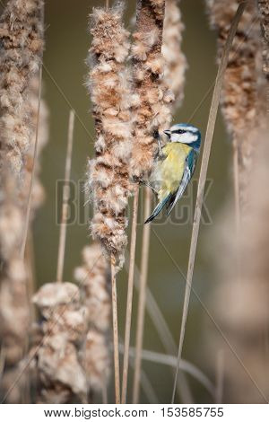 Blue tit on reeds getting material for nesting