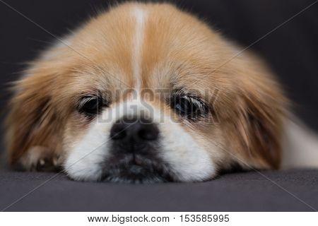 Sleepy Tibetan spaniel dog laying o a sofa