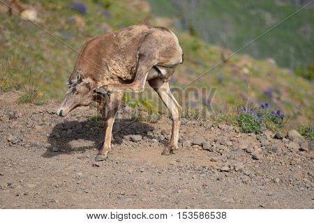 Big horn sheep has only one horn in Mount Washburn hiking trail Yellowstone National Park WY