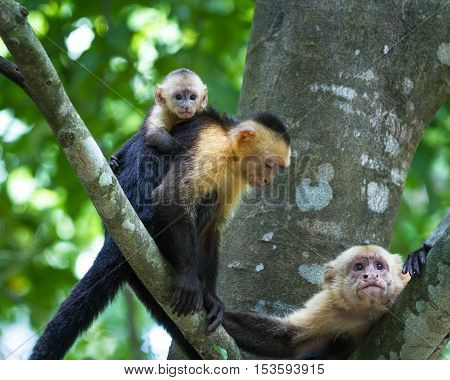 White Headed Capuchin -  Cebus Capucinus