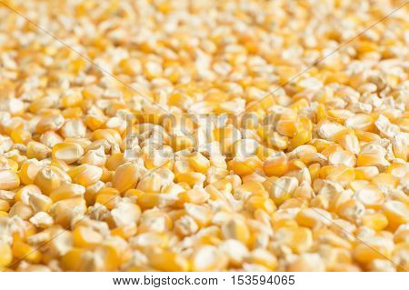 Yellow dry corn beans covering the entire picture. Background.