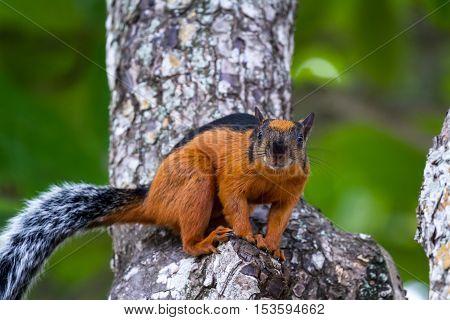 Reddish Brown Squirrel
