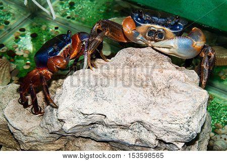 Rainbow Crab Or Cardisoma Armatum