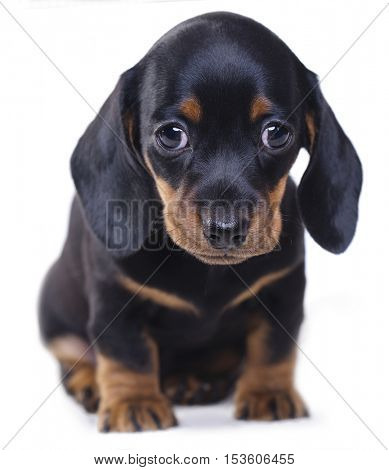 sitting dachshund puppy