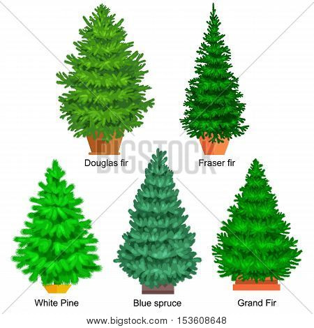 Set of potted christmas vector tree like fir or pine Blue spruce for New year celebration without holiday decoration, evergreen xmas plants.