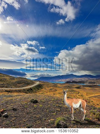On the yellowed grass stands guanaco - Lama. Beautiful day in early autumn in Patagonia. National Park Torres del Paine