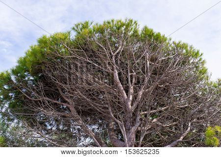 big vertex or crown of an old coniferous tree for a natural background