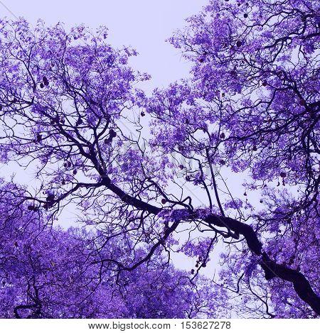Beautiful blooming violet branches of Jacaranda. Brooklyn. Pretoria. Spring in South Africa.