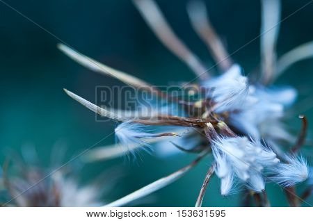 Abstract Maco Dandelion