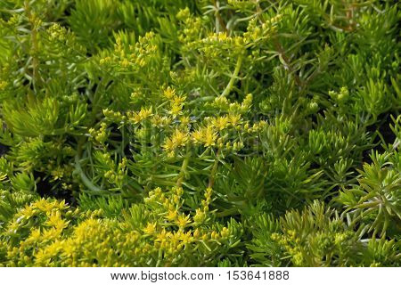 sedum flowers and grass in the flowerbed closeup