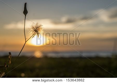 LABUAN ISLAND ,MALAYSIA -OCTOBER 23,2016: Wild flower silhouette during sunset at the seaside Kg. Pohon Batu.