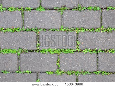 The gray wet concrete sidewalk coverage with sprouting green grass through the paving. Urban background texture. Close up.