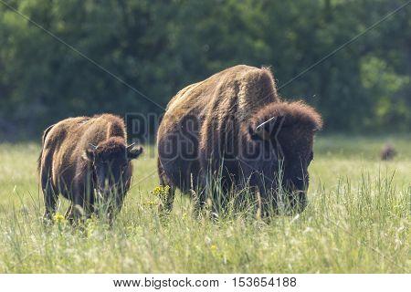 Buffalo in the Black Hills of South Dakota.