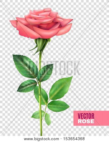Realistic tender blooming pink rose with beautiful petals and green stalk and leaves on transparent background vector illustration