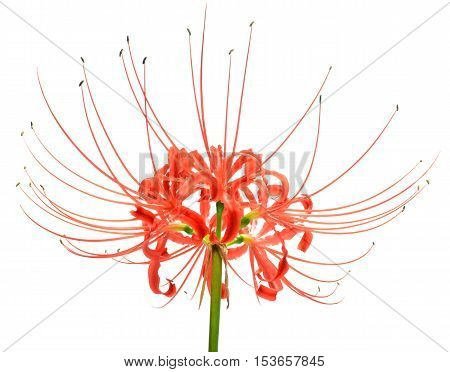 Single red spider lily flower cluster isolated over a white background
