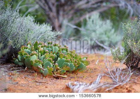 Blossoming Cactuses In Dixie National Forest Near Yant Flat Sandstone Formations In Utah