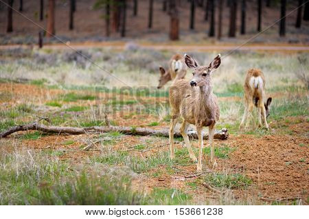 Group of deers in Bryce Canyon National park in Utah USA