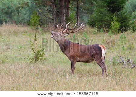 Roaring red deer (Cervus elaphus) Northern Belarus