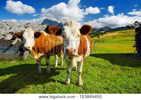 Cows in Seiser Alm the largest high altitude Alpine meadow in Europe stunning rocky mountains on the background. South Tyrol province of Italy Dolomites.