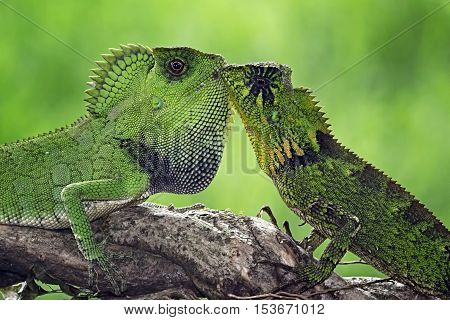 Lizard, a pair of lizards face to face as if they were a long time no see