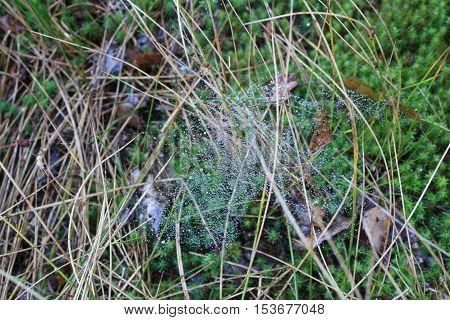 Spinnenweb met dauw in het droge gras