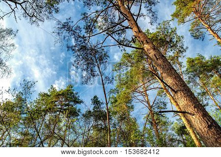 Bottom view of tall old trees in evergreen primeval forest in Irpen Ukraine. Pine forest with blue sky in background.