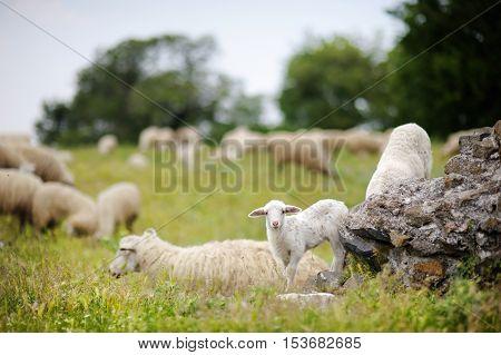 Herd on sheep in Italian fields on summer day