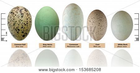 Collection of bird's eggs isolated on white ( Larus canus Ardea cinerea Phalacrocorax carbo Fulica atra Ciconia ciconia)