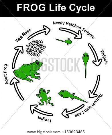 Vector - Frog Life Cycle (all stages: egg mass, newly hatched tadpole, tadpole, tadpole with legs, froglet, and adult frog) - Educational Material